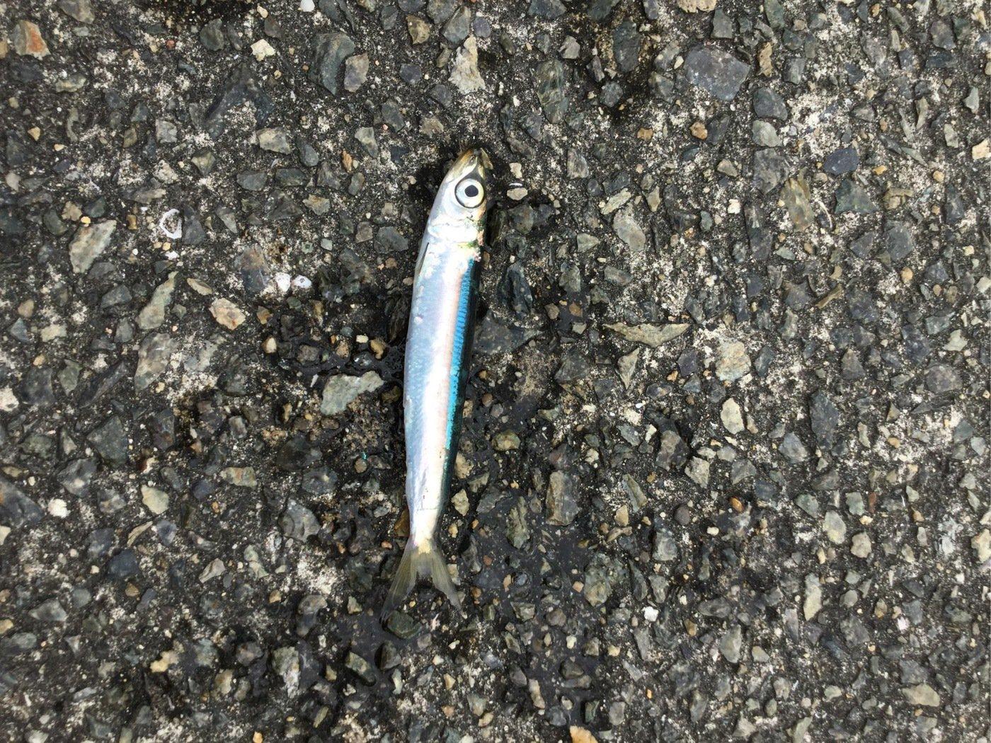 釣りの天才さんの投稿画像,写っている魚はカタクチイワシ
