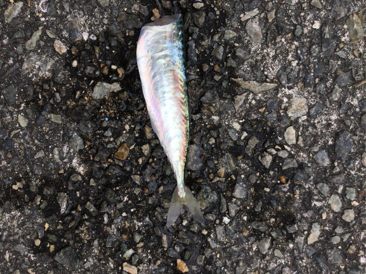 釣りの天才さんの投稿画像,写っている魚はマサバ