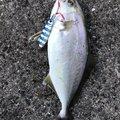 アイアンマンさんの長崎県東彼杵郡での釣果写真
