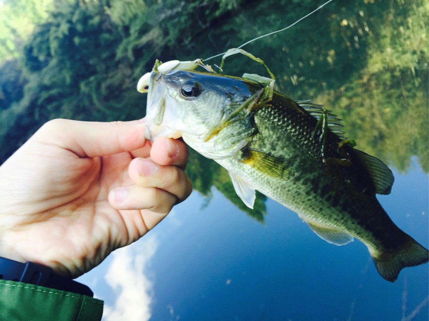 せいしょうさんの投稿画像,写っている魚はブラックバス