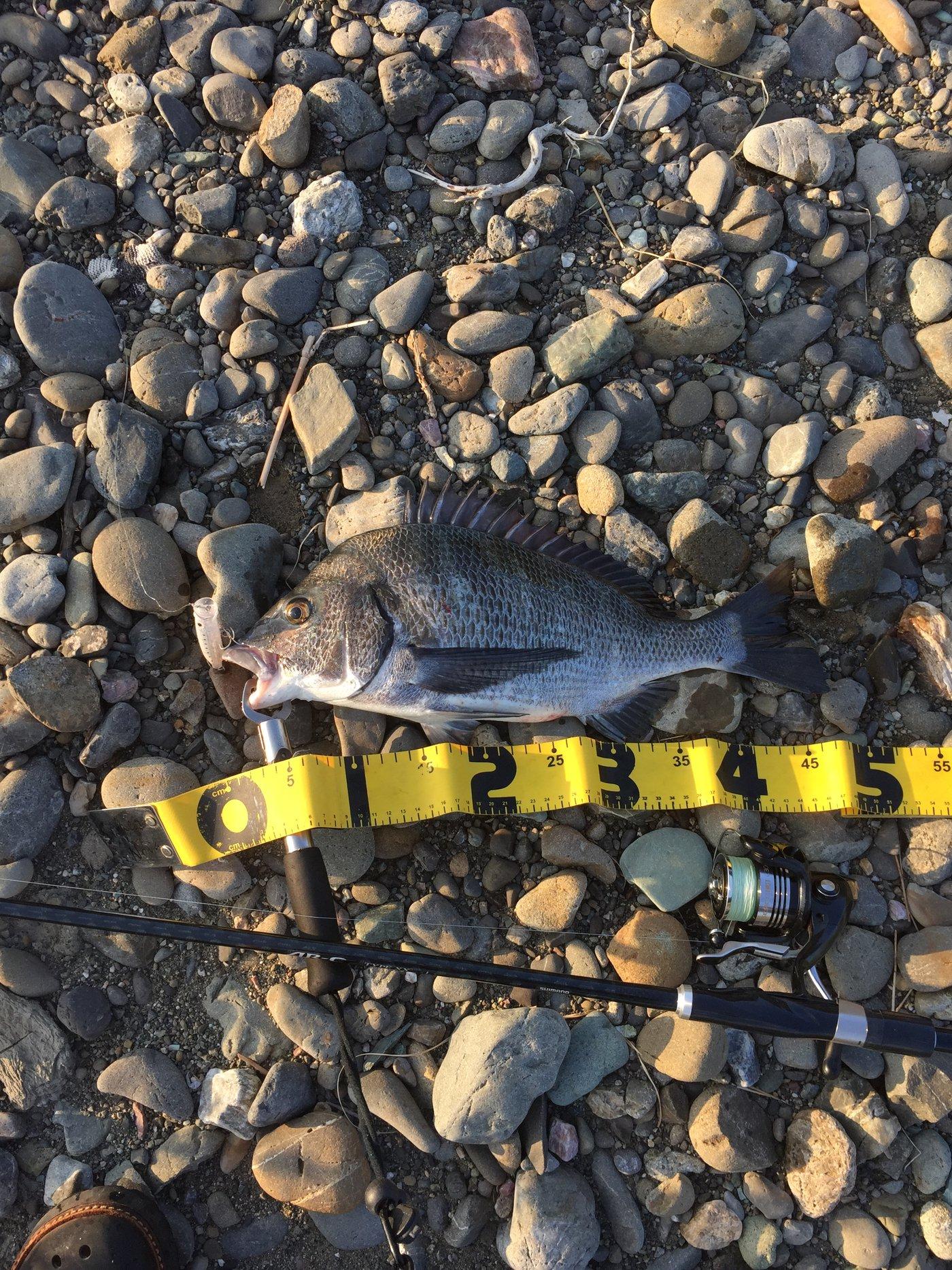 こうじさんの投稿画像,写っている魚はクロダイ