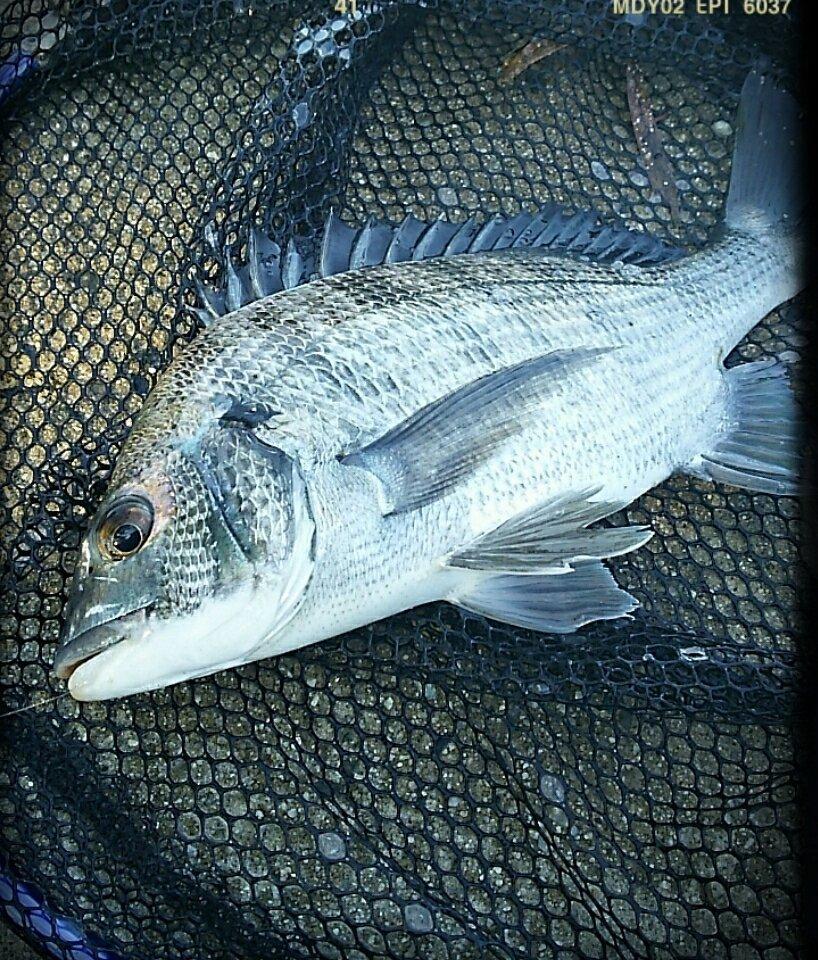 Tamago さんの投稿画像,写っている魚はクロダイ