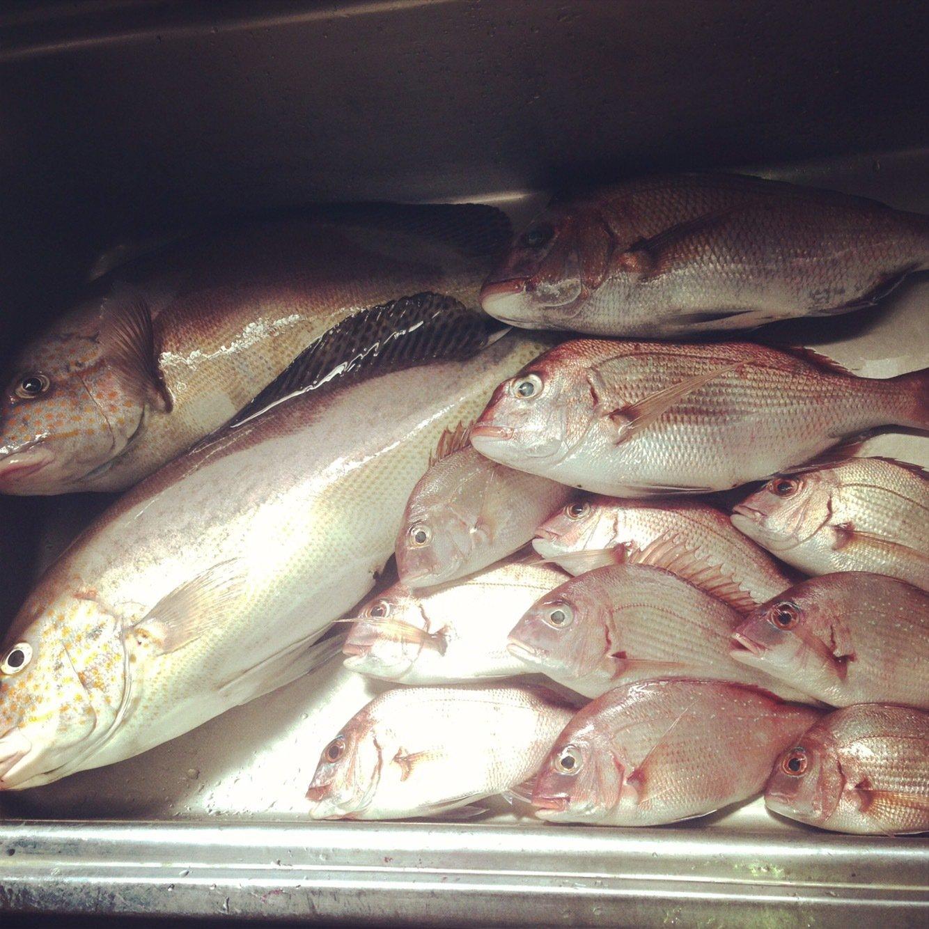 せいしょうさんの投稿画像,写っている魚はコロダイ