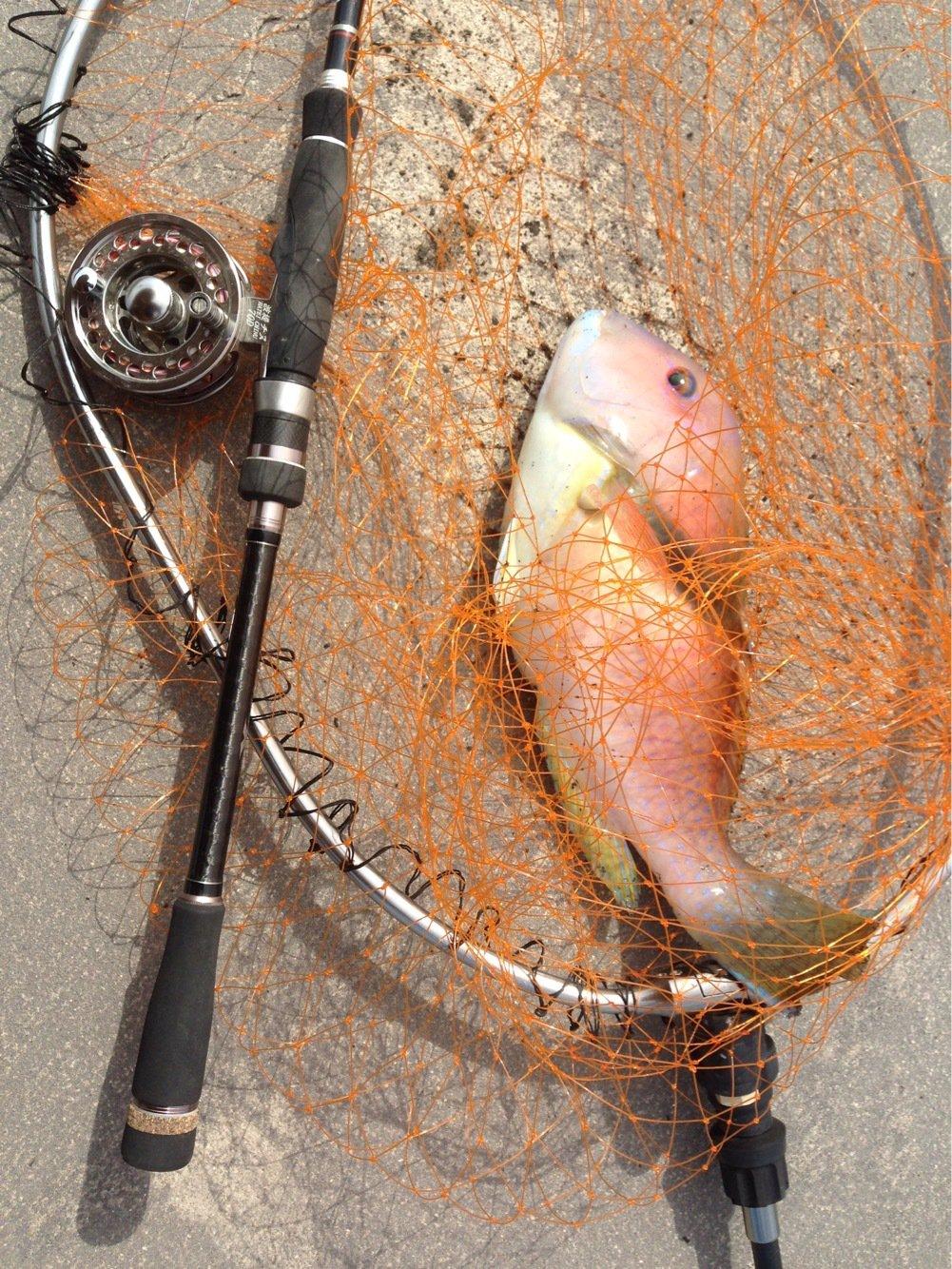 せいしょうさんの投稿画像,写っている魚はコブダイ
