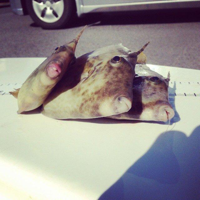 せいしょうさんの投稿画像,写っている魚はカワハギ