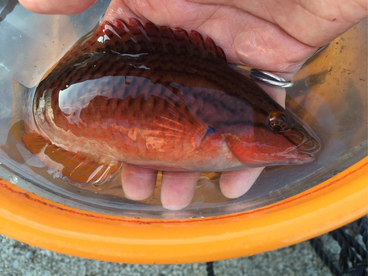 釣り女子さんの投稿画像,写っている魚はアカササノハベラ