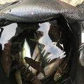 ムギツクさんの兵庫県でのキュウセンの釣果写真
