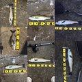 レオさんの福岡県福岡市でのクロダイの釣果写真