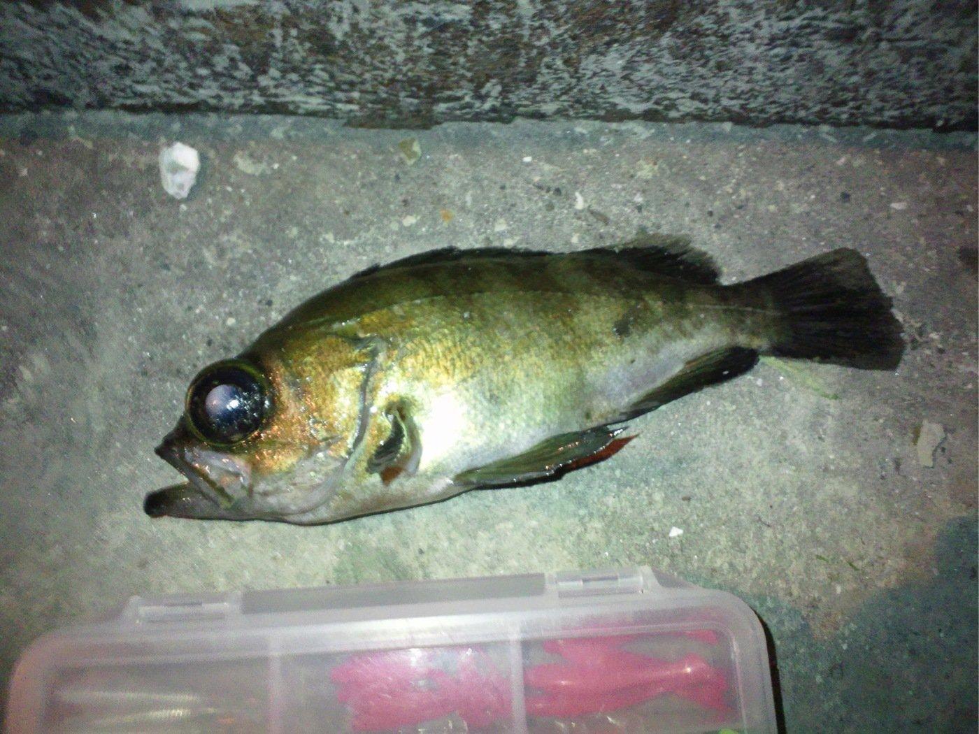 せいしょうさんの投稿画像,写っている魚はメバル