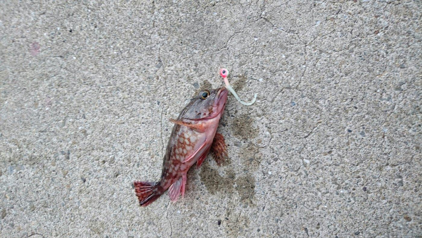 ダイワさんの投稿画像,写っている魚は