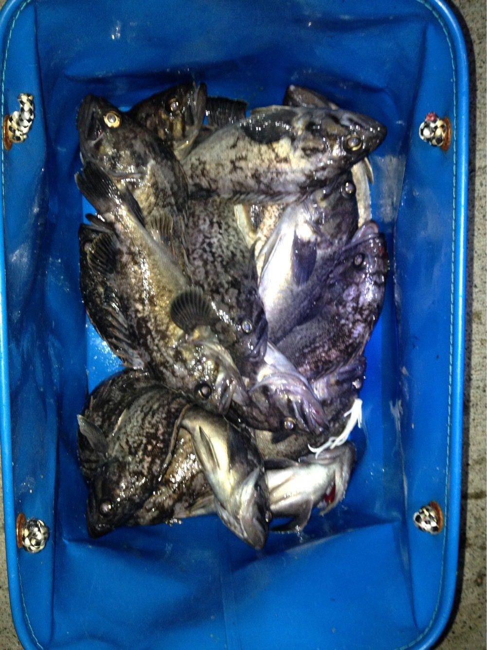 釣り人さんの投稿画像,写っている魚はクロソイ