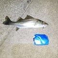 ゆうさんの福岡県福津市でのスズキの釣果写真