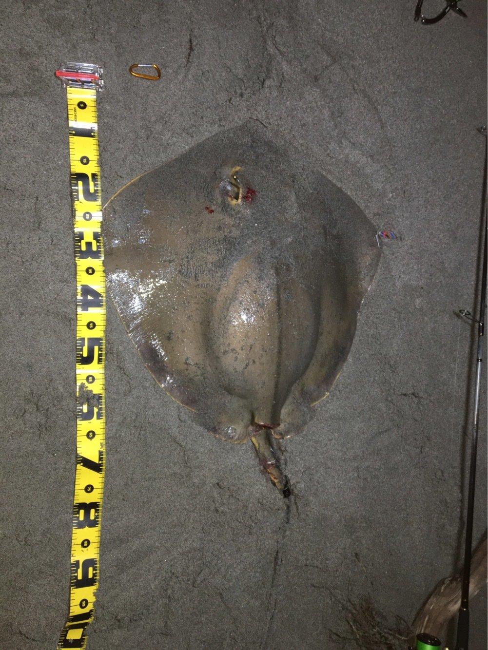 田中Sさんの投稿画像,写っている魚はアカエイ