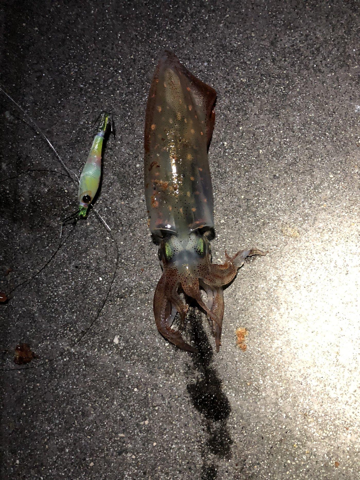 釣人ハルクさんの投稿画像,写っている魚はケンサキイカ