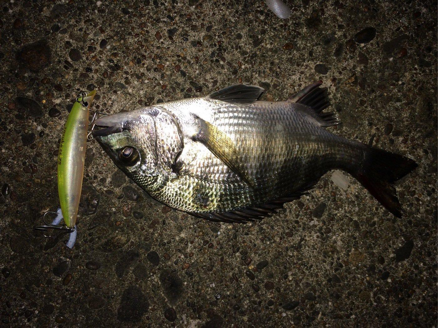 ポニーさんの投稿画像,写っている魚はクロダイ