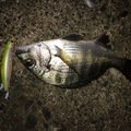 ポニーさんの千葉県習志野市でのクロダイの釣果写真