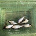 ゆうくんさんの福島県耶麻郡での釣果写真