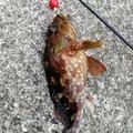 326さんの静岡県熱海市でのカサゴの釣果写真