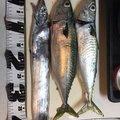 ざんぎ※釣具は大事に‼︎さんの静岡県静岡市でのマサバの釣果写真