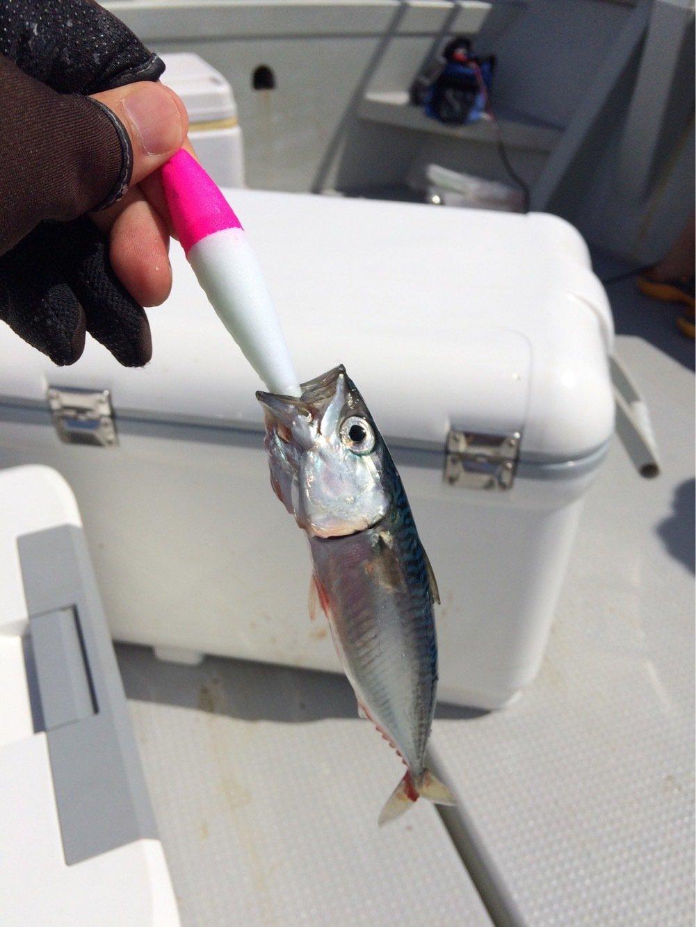 根太郎さんの投稿画像,写っている魚はマサバ