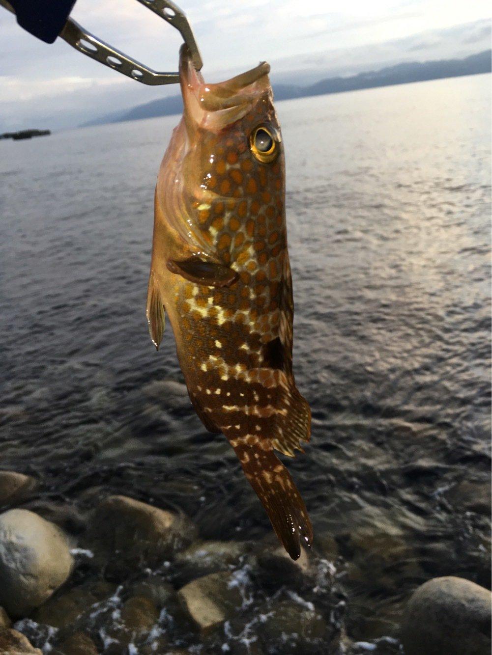 べきおさんの投稿画像,写っている魚はキジハタ