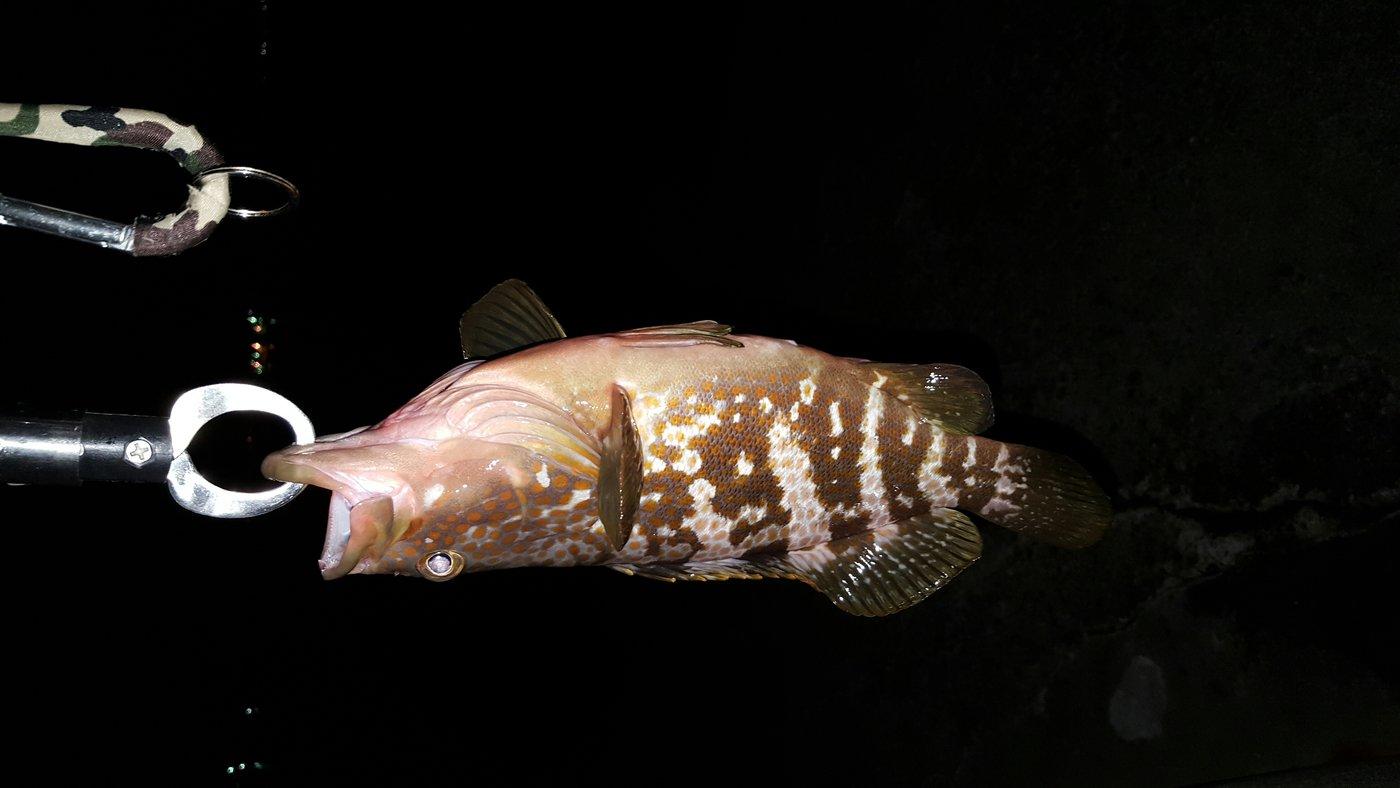 松魚さんの投稿画像,写っている魚はキジハタ