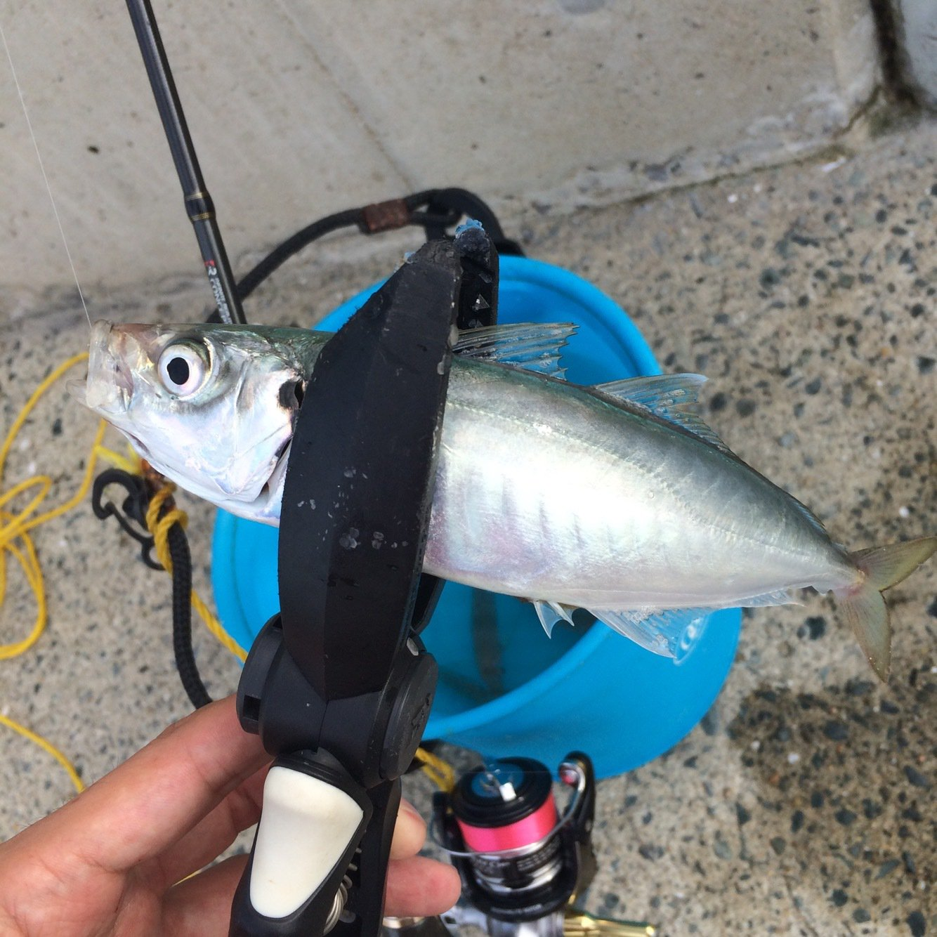 がっちゃんさんの投稿画像,写っている魚はアジ