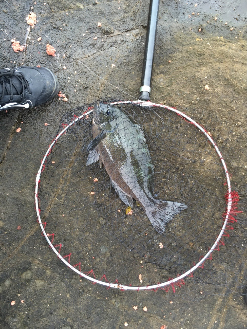 EKさんの投稿画像,写っている魚はメジナ