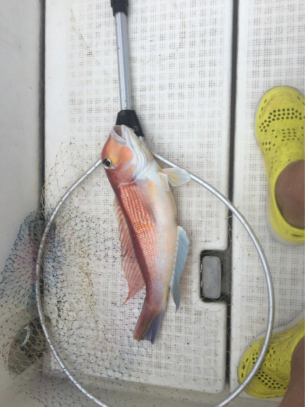aoricyuさんの投稿画像,写っている魚はアマダイ