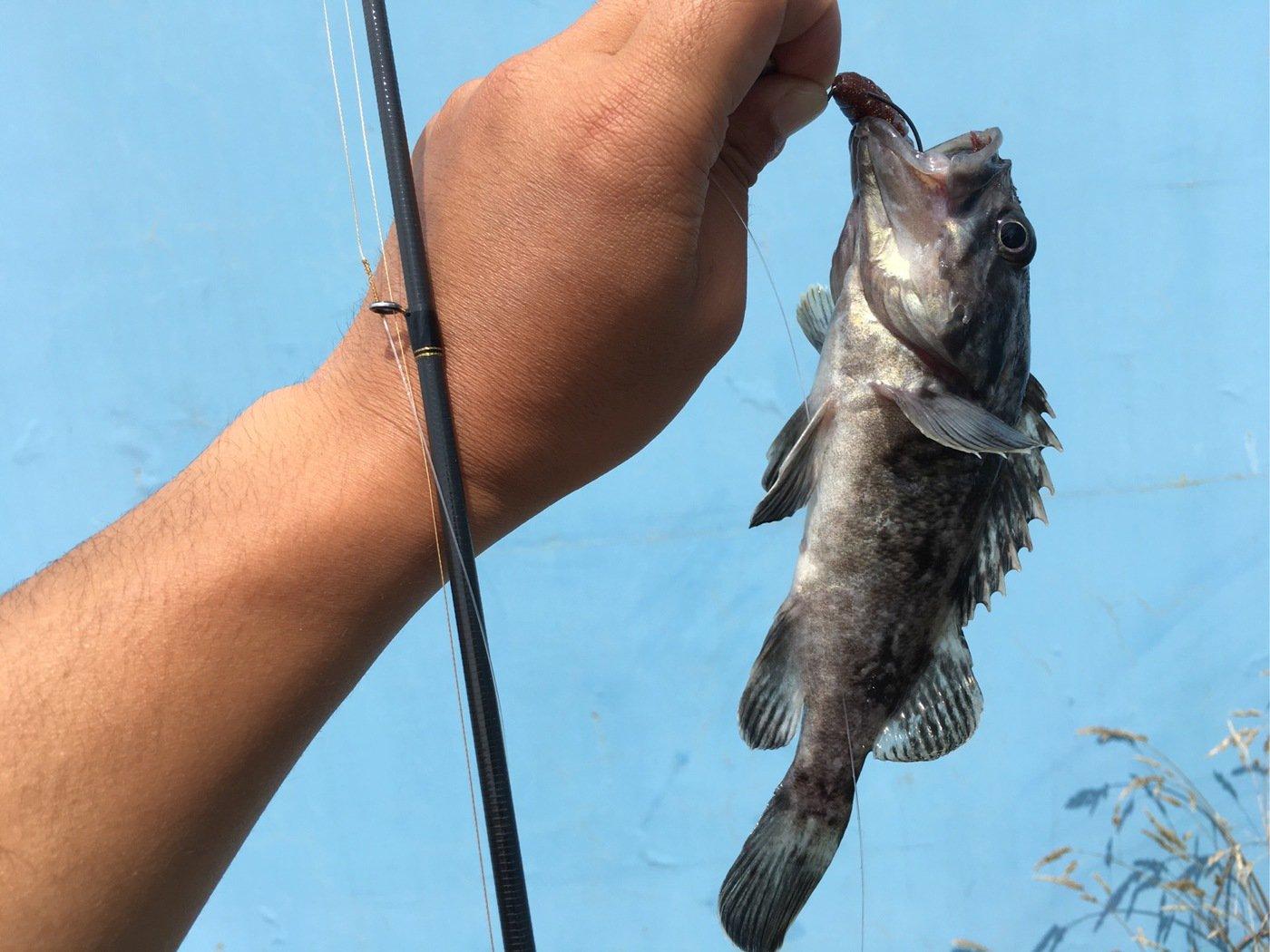 ちゃんたかさんの投稿画像,写っている魚はクロソイ