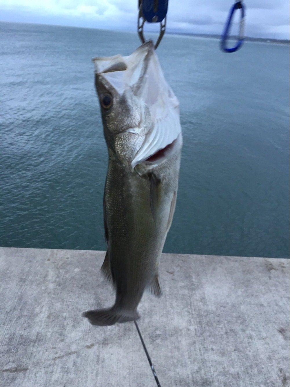 テリーさんの投稿画像,写っている魚はスズキ