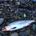 ツインさんの北海道目梨郡での釣果写真
