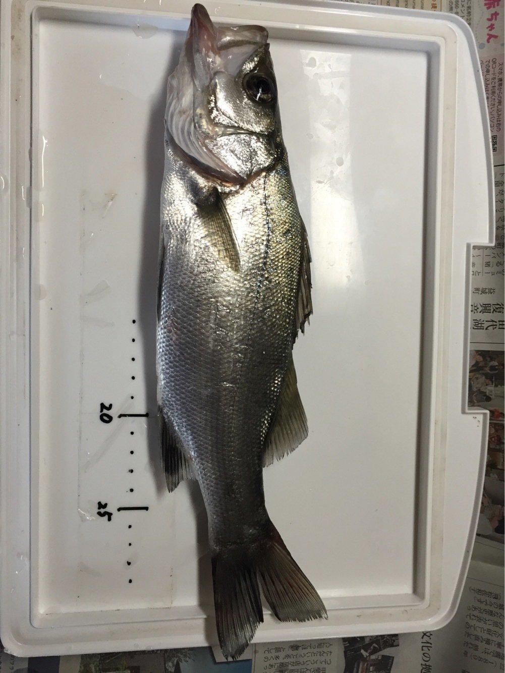 フルフルさんの投稿画像,写っている魚はスズキ