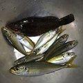フィッシャーさんの秋田県にかほ市での釣果写真