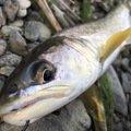 ぴよさんの北海道日高郡での釣果写真