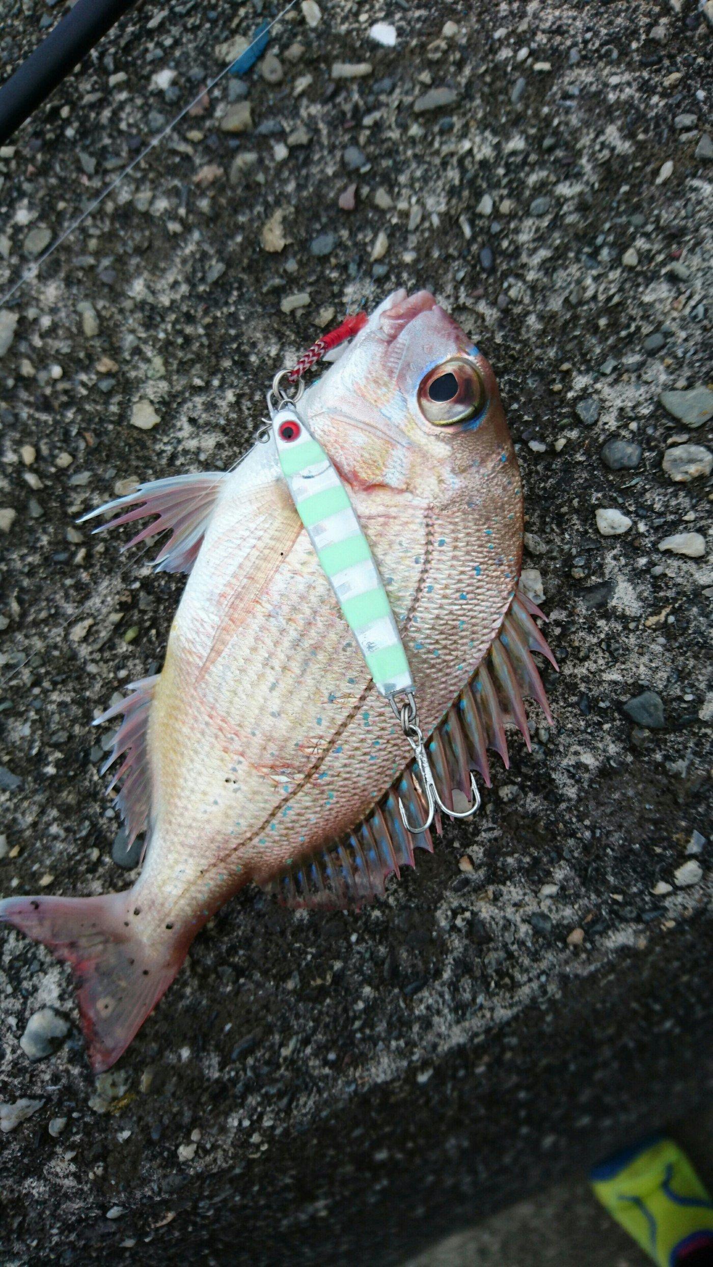 ぶっちゃんさんの投稿画像,写っている魚はチダイ