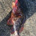 自由の翼さんの静岡県下田市でのカサゴの釣果写真