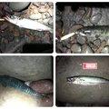 海なし県アングラーゆきさんの群馬県高崎市での釣果写真