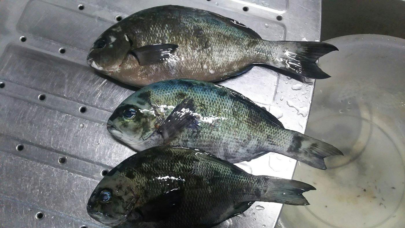 かずくんさんの投稿画像,写っている魚はメジナ