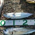 釣りにゃんさんの埼玉県新座市での釣果写真