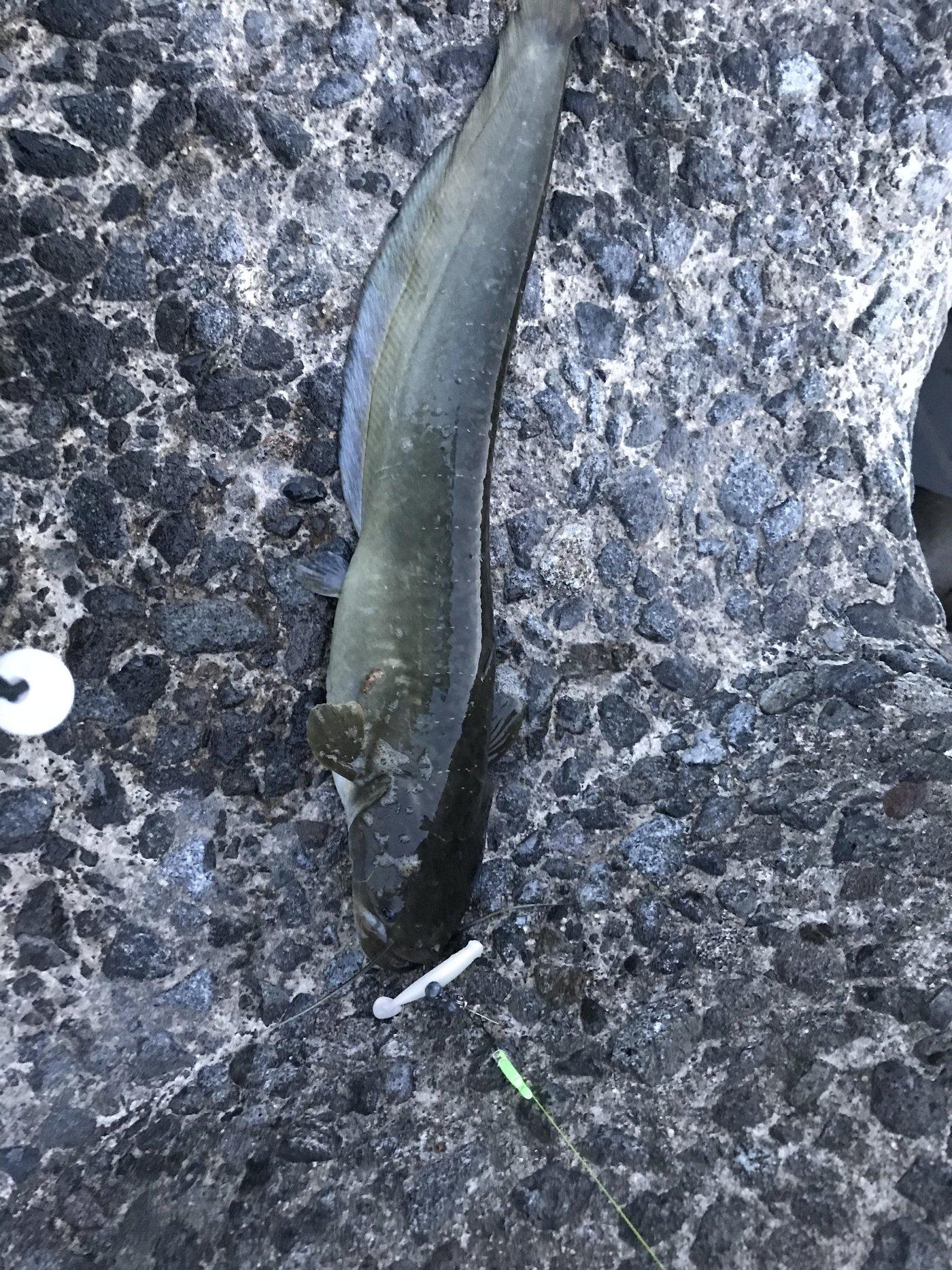 ドドレファンさんの投稿画像,写っている魚はナマズ