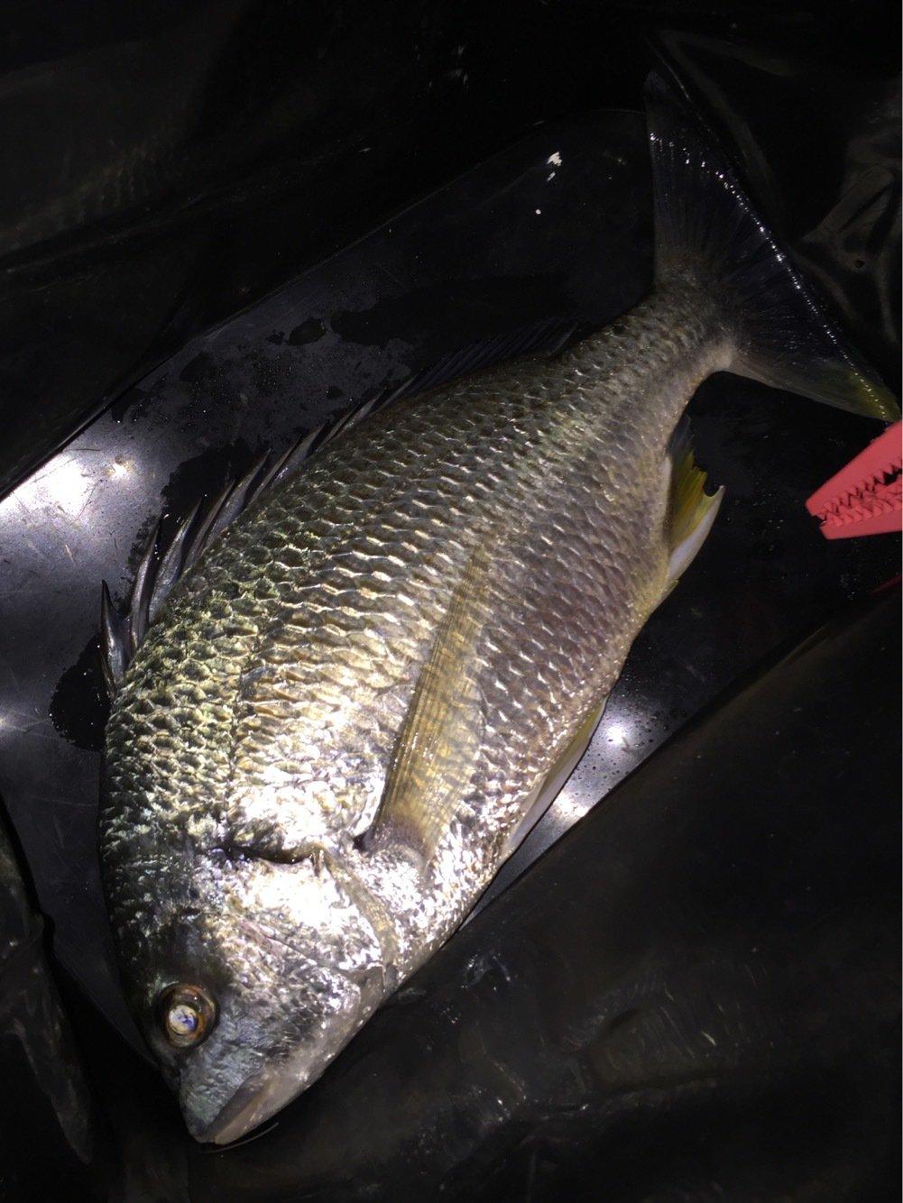 ヨシキングさんの投稿画像,写っている魚はキチヌ