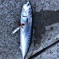 ショウ・アズナブルさんの神奈川県でのマルソウダの釣果写真
