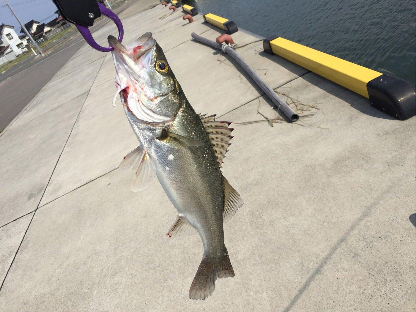 けじさんの投稿画像,写っている魚はスズキ
