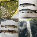 IKEKINさんの宮崎県西臼杵郡での釣果写真
