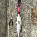 ケンジーズさんの千葉県長生郡でのスズキの釣果写真