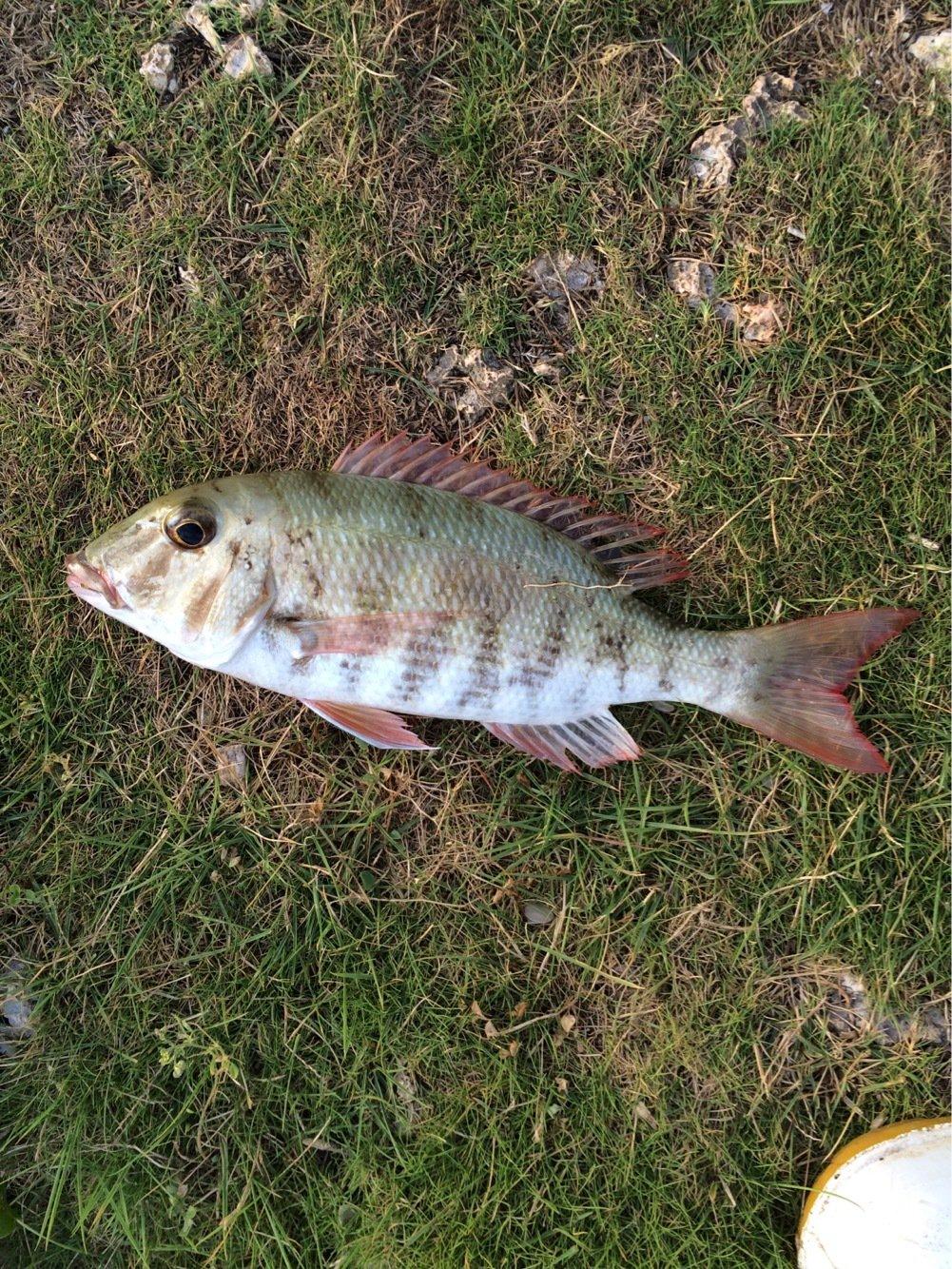 カンタダさんの投稿画像,写っている魚はフエフキダイ