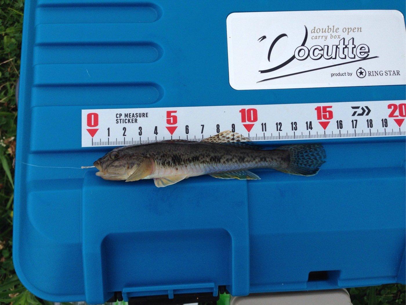 ヒラメんさんの投稿画像,写っている魚はマハゼ