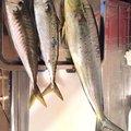 こしさんの神奈川県鎌倉市でのシイラの釣果写真
