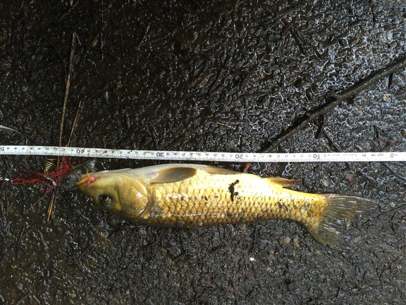 g-ayumuさんの投稿画像,写っている魚はコイ